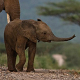 baby-elephant-160.jpg